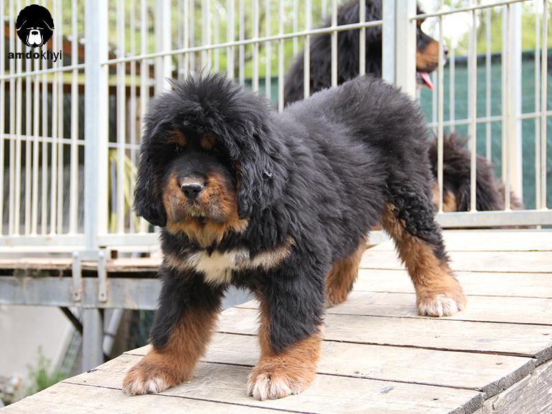 cucciolo Mastino Tibetano