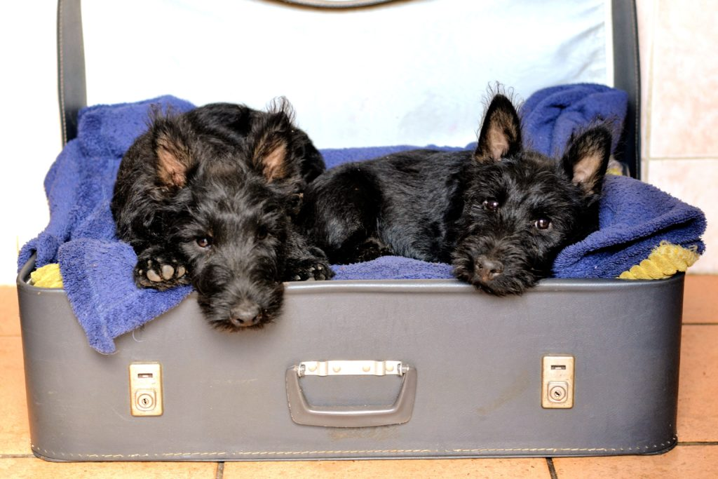 cuccioli Scottish terrier