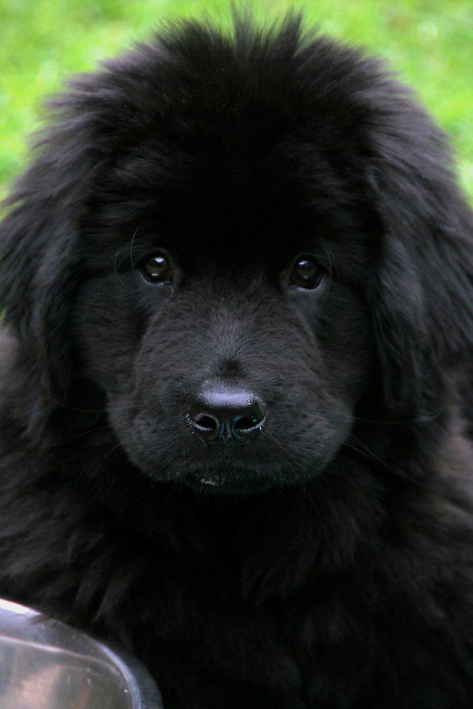 testa cucciolo