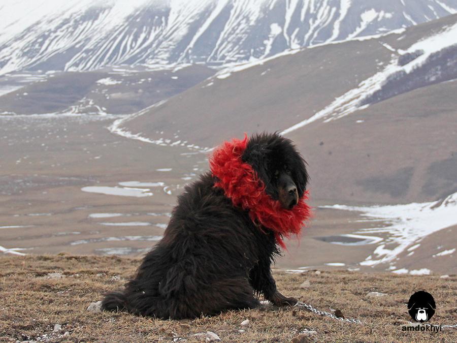 Tibetan mastiff al lavoro