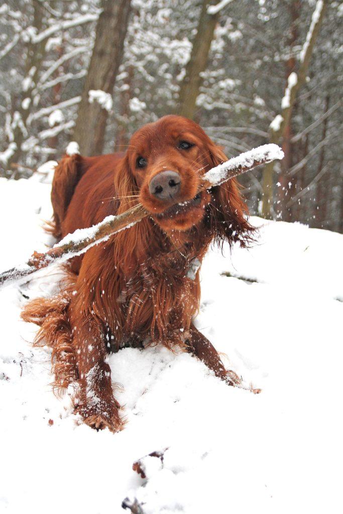 Setter Irlandese sulla neve