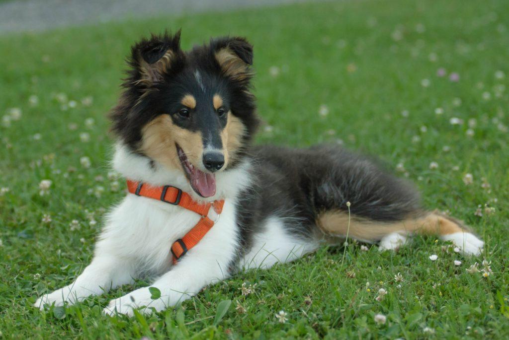 cucciolone di Shetland