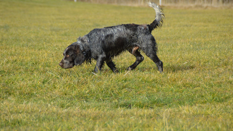 Spaniel tedesco o Wachtelhund
