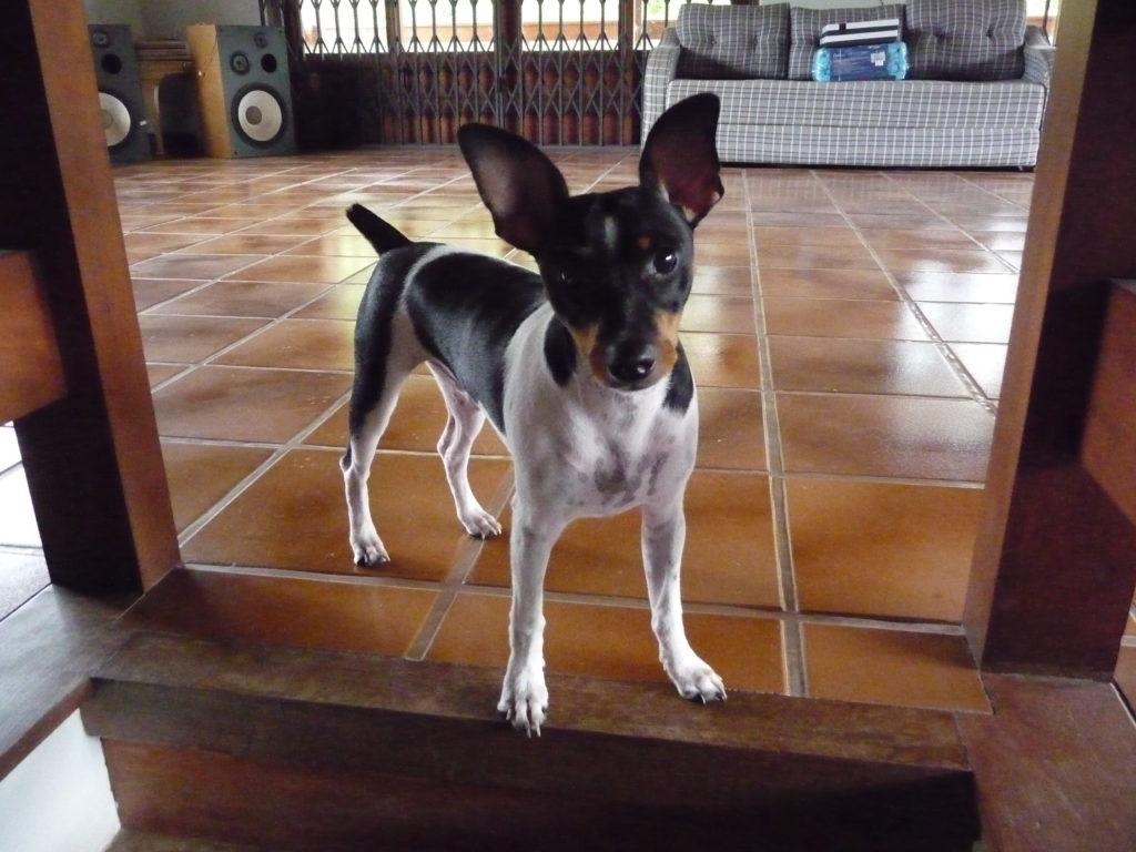 Terrier brazileiro