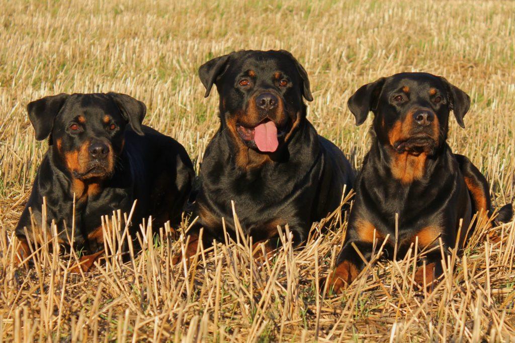 tris di Rottweiler