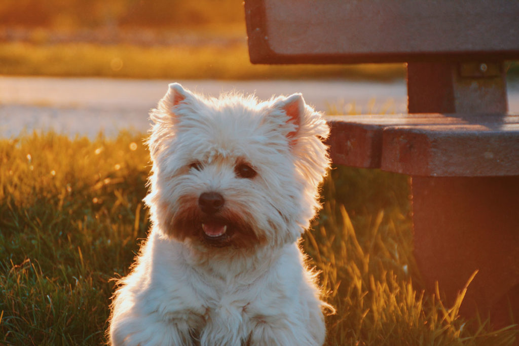 West Highland white terrier cucciolone