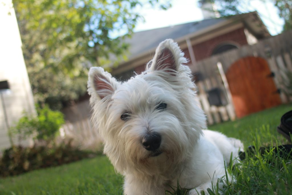 West Highland white terrier testa